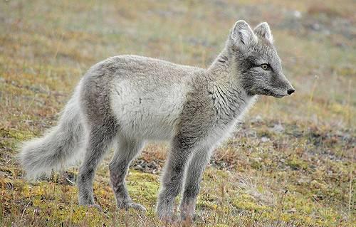 młody lis polarny