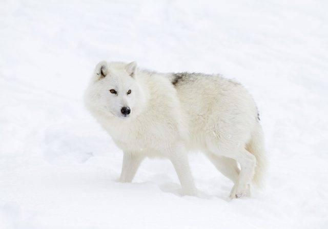 wilk arktyczny w zimie
