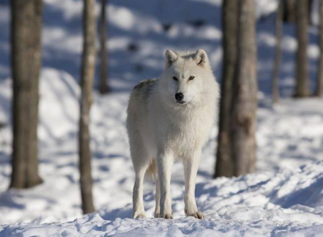 wilk polarny zdjęcie