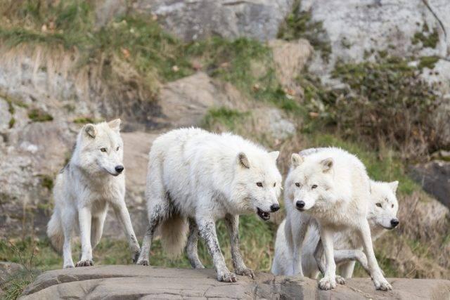 wilki arktyczne