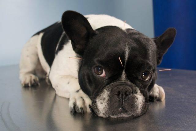 akupunktura u psa