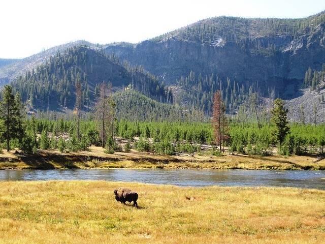 bizon amerykański w parku Yellowstone