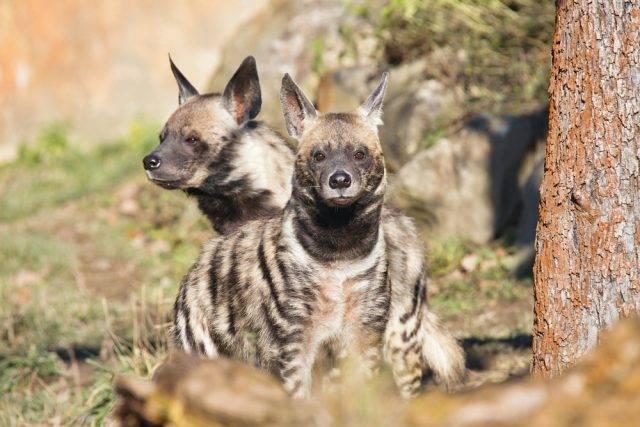 hiena pręgowana