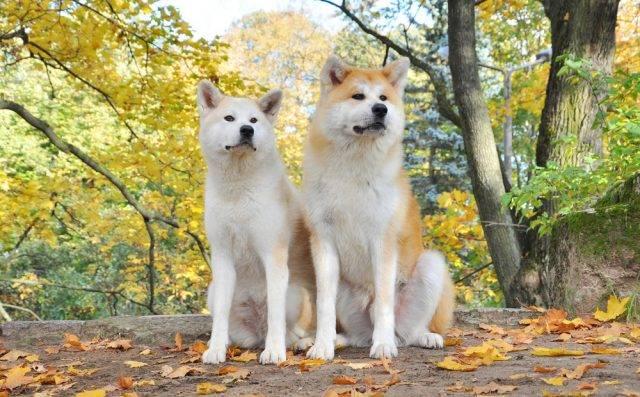 pierwotne psy