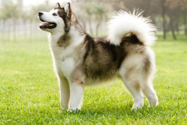 pierwotne rasy psów alaskan malamute