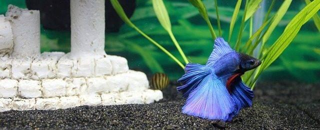 ryba akwariowa bojownik samiec