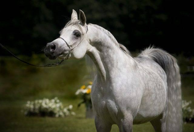 rasy konia domowego koń arabski
