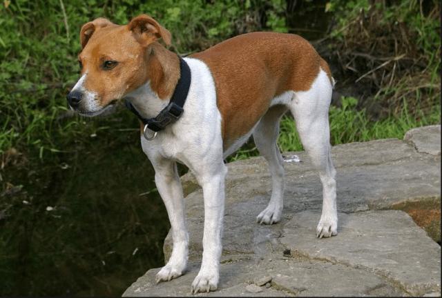 pies na szczury plummer terrier