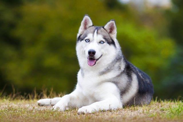 pies rasy syberian husky