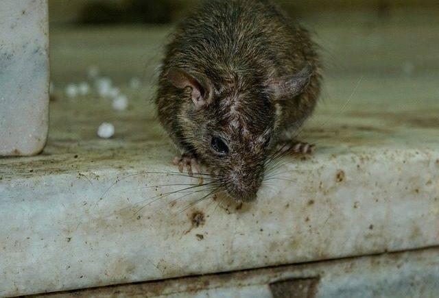szczur gryzoń szkodnik
