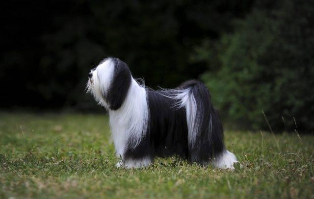 pies rasy terier tybetański