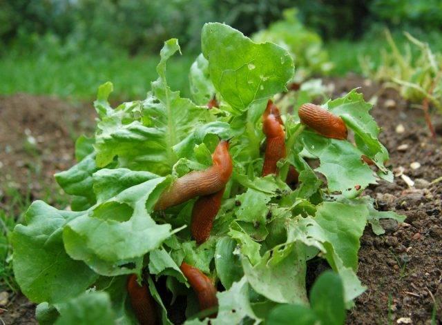 ślimaki w ogrodzie ja ich się pozbyć