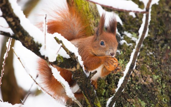 Co je i co robi wiewiórka zimą?