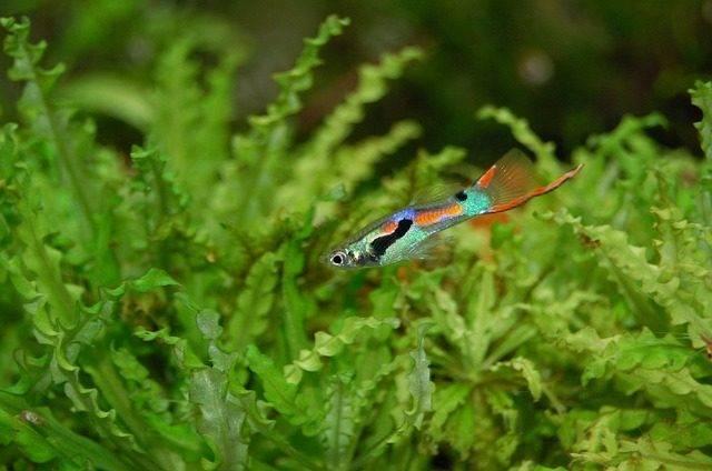 gatunki ryb akwariowych gupik