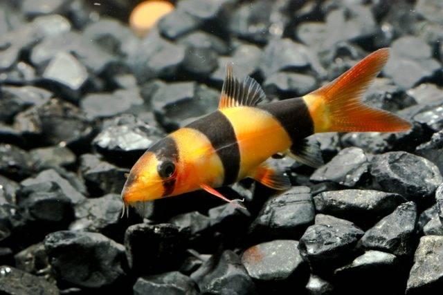 ryba na ślimaki bocja wspaniała