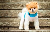 Boo słynny pies na Facebooku