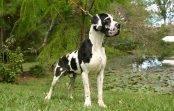 Umaszczenie dogów niemieckich