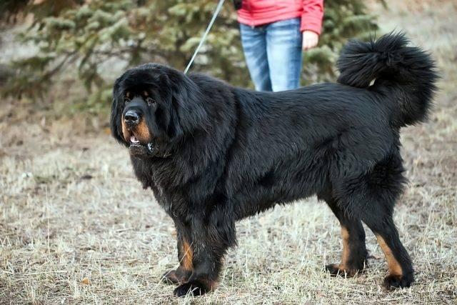 duży pies mastif tybetański