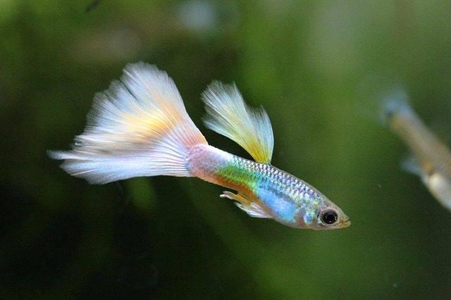 gupik żyworodne gatunki ryb akwariowych