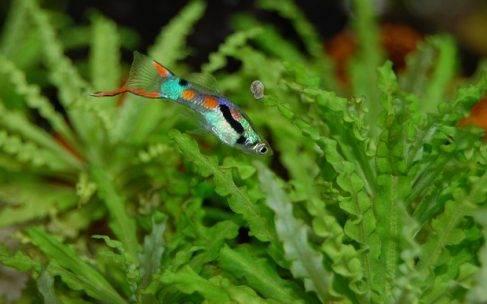 Żyworodne gatunki ryb akwariowych