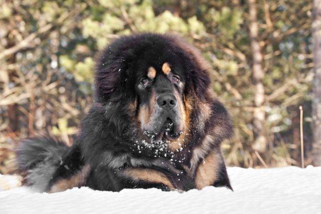 mastif tybetański w zimie