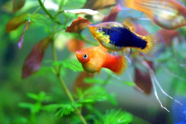 zmienniak plamisty ryby akwariowe