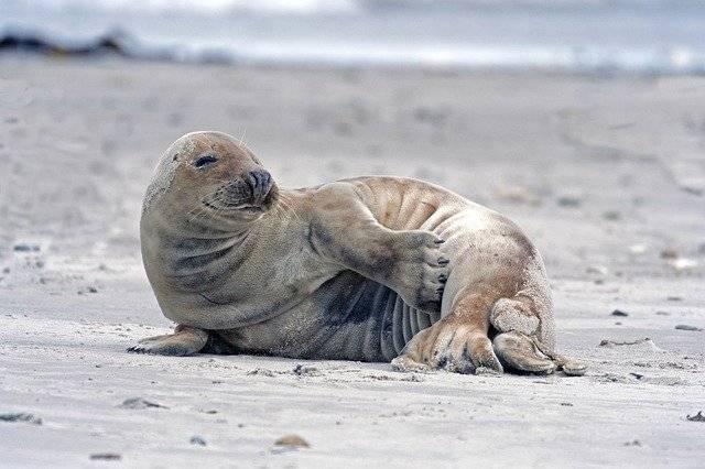 zwierzęta bałtyku foka szara