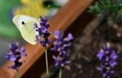 Bielinek kapustnik (Pieris brassicae)