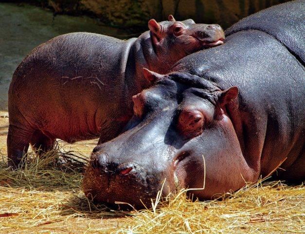 hipopotam matka z młodym