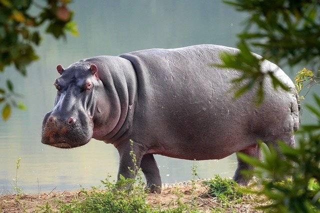 hipopotam zwierze