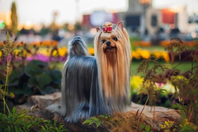 yorkshire terrier wystawowy