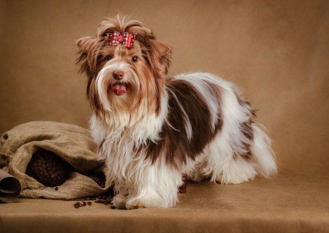 biewier yorkshire terrier
