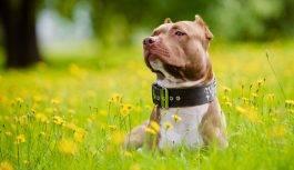 Pitbull pies (Amerykański pitbulterier)