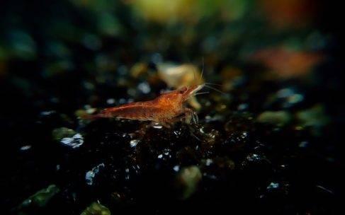Krewetka red cherry w akwarium ogólnym