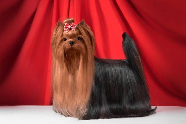 wystawowy yorkshire terrier