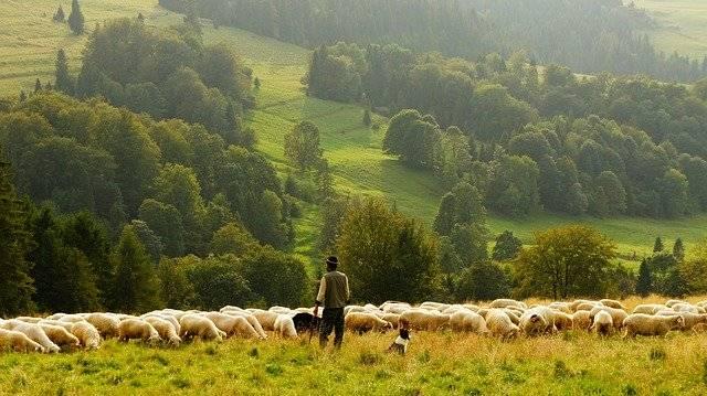 Kierunki chowu zwierząt gospodarskich owiec