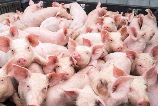 Kierunki chowu zwierząt gospodarskich trzody chlwenej