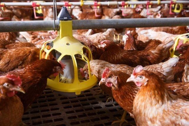 Kierunki chowu zwierząt gospodarskich kur