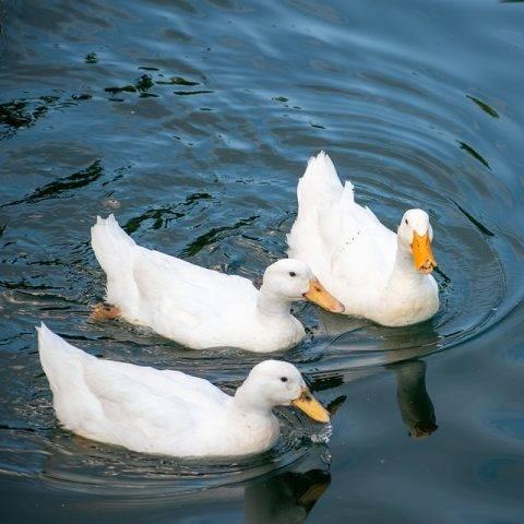 3 kaczki pekin