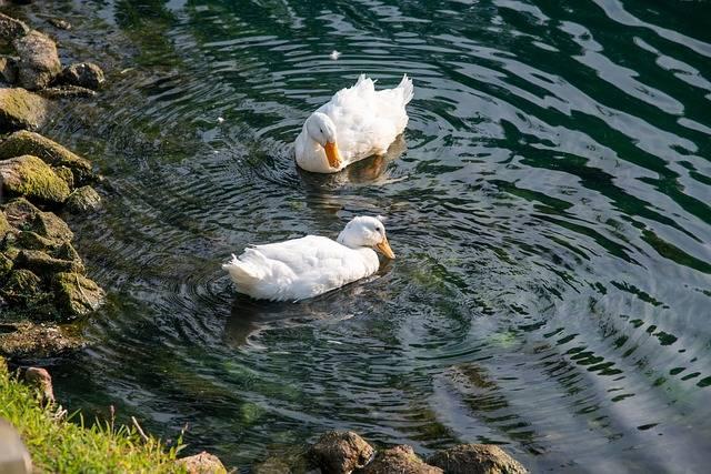 kaczki pekin nad wodą