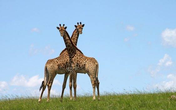 Podgatunki żyraf