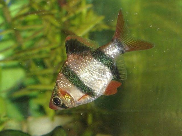 ryba akwariowa brzanka sumatrzańska