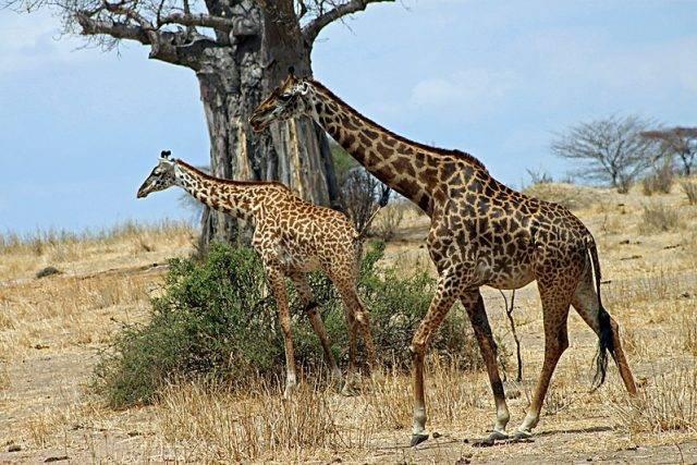 Giraffa camelopardalis tippelskirchi żyrafa kenijska