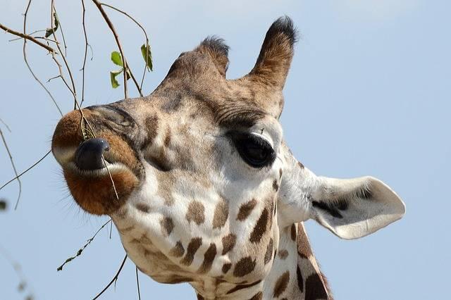 żyrafa zwierze i jej język