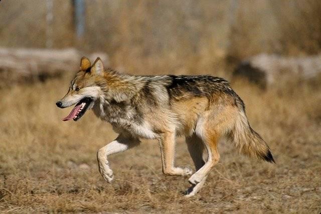 zagrożone gatunki na świecie wilk meksykański