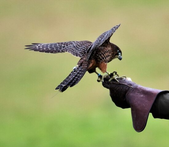 łowiectwo polowanie z sokołem