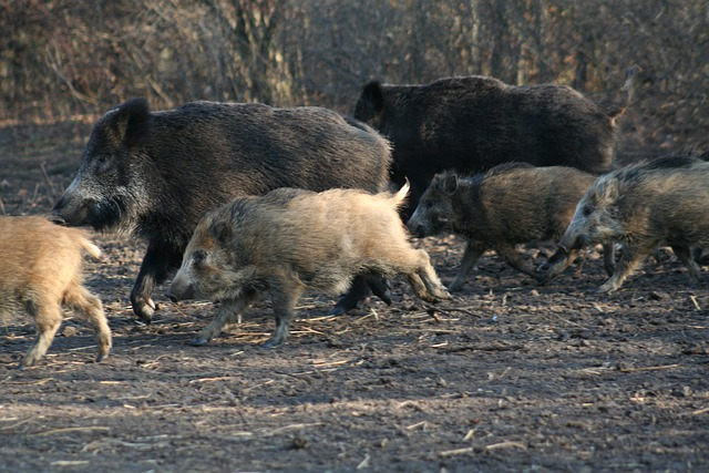 myślistwo polowanie na dziki