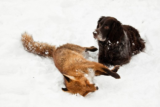 pies z upolowanym lisem