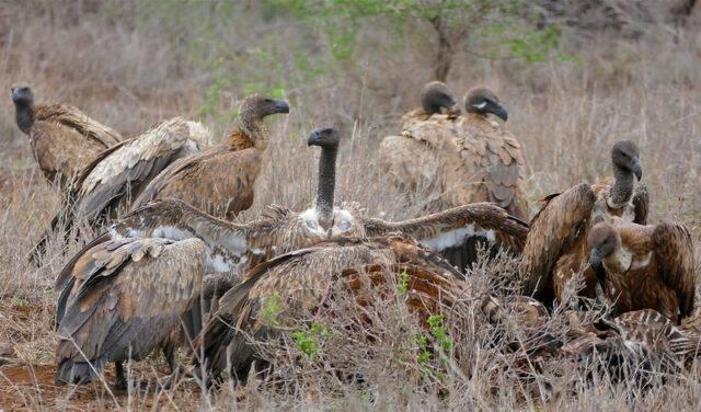 sęp afrykański opis gatunku