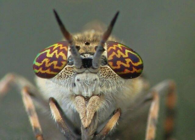 jusznica deszczowa Haematopota pluvialis
